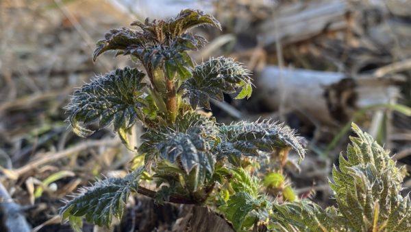 Brennesle Urtica dioica dioica Foto: Jim-Andre Stene